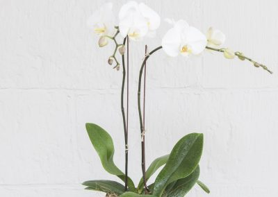 THE POTTED PHALAENOPSIS ORCHID